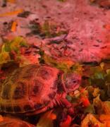 Черепахи сухопутні продам