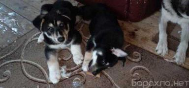 I will give it for free: half-breed husky puppies in Moscow